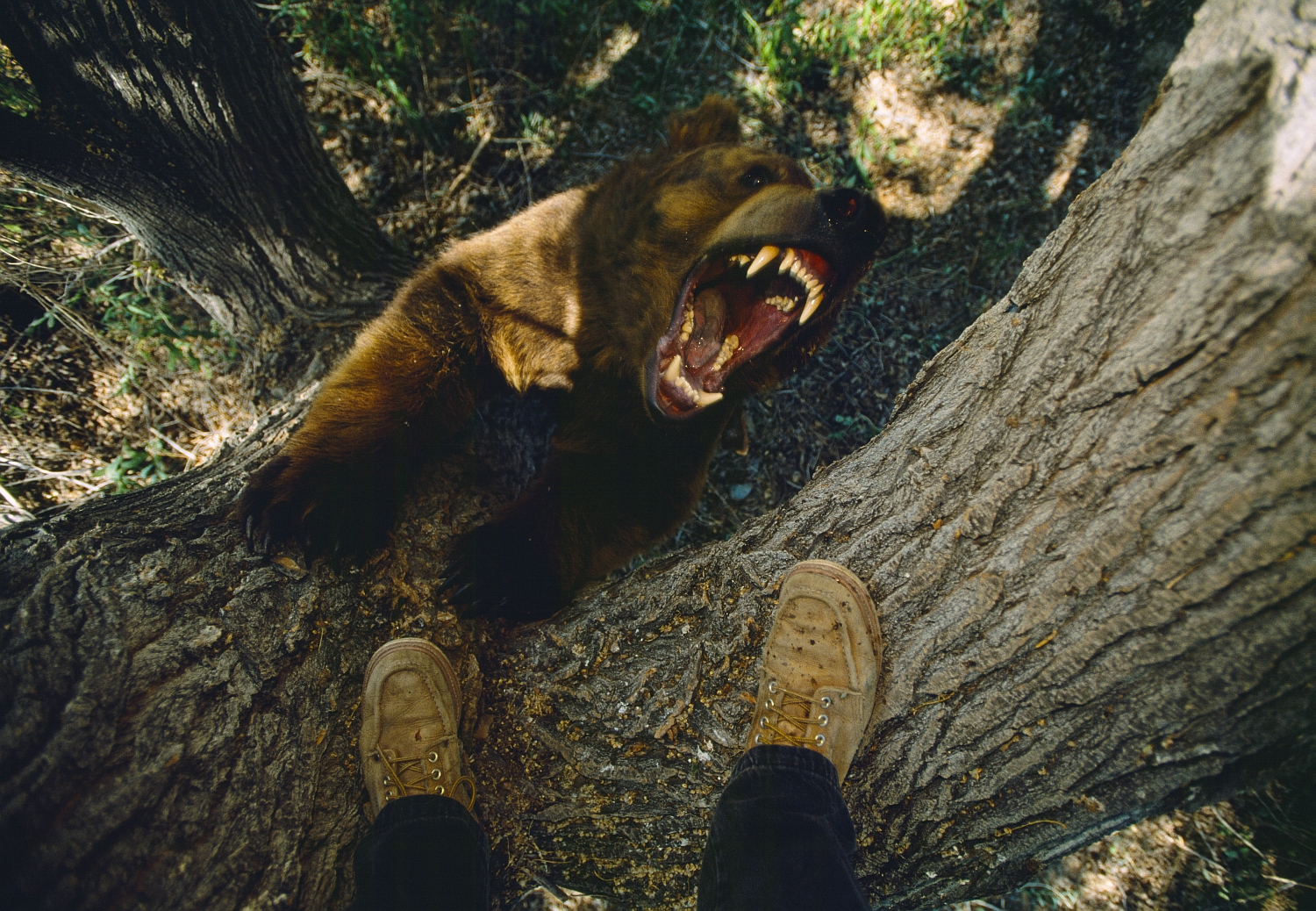 Photographer treed by grizzly_CR Joel Sartore